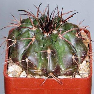 Discocactus chrystallophorus Form HU 582 Minas Gerais, Brasilien   CITES, not outside EU