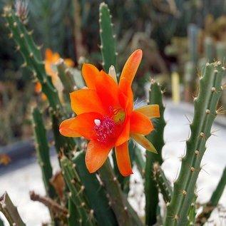 Disocactus aff. cinnabarinus   Patzun, Guatemala