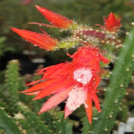 Disocactus schrankii  v. stenopetalum  Durango -> Mazatlan