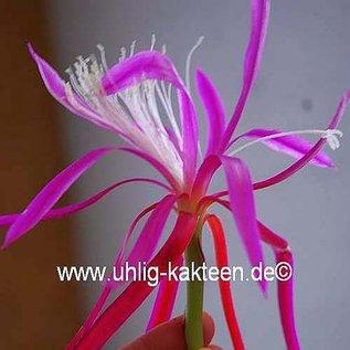 Disophyllum-Hybr. Frühlingspracht