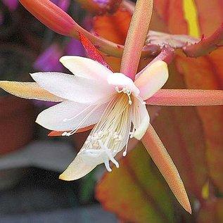 Disophyllum-Hybr. Regine