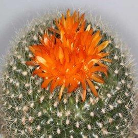 Notocactus haselbergii
