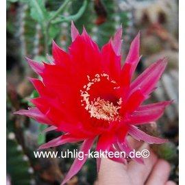 Echinopsis-Hybr. Ballerina Rheingold 260
