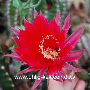 Echinopsis-Hybr. `Ballerina` Rheingold 260