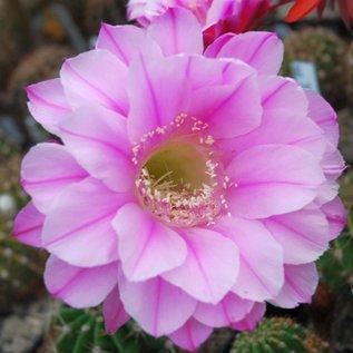 Echinopsis-Hybr. Bel Canto Schick Hybride