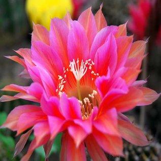 Echinopsis-Hybr. Calypso  Rheingold 276