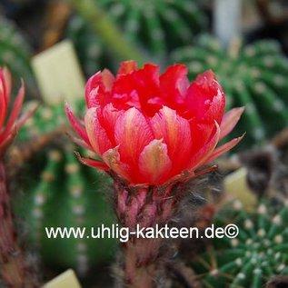 Echinopsis-Hybr. Consuela  Rheingold 291