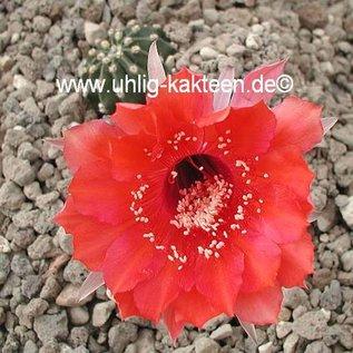 Echinopsis-Hybr. Flirt  Rheingold 294