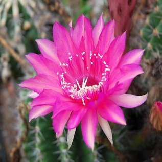 Echinopsis-Hybr. Hanna