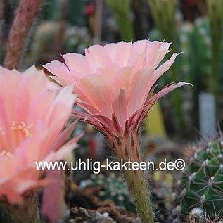 Echinopsis-Hybr. Lachs Paramount  Pa 1