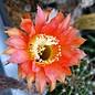 Echinopsis-Hybr. `Mary Patrizia`  (B)