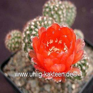 Echinopsis-Hybr. `Nummer IC` Rheingold 210