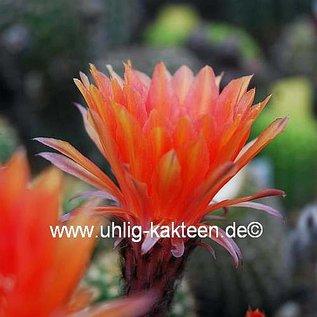 Echinopsis-Hybr. Orange Königin  Schleipfer UT 9/20