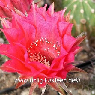 Echinopsis-Hybr. Serenade  Rheingold 235