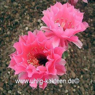 Echinopsis-Hybr. `Symphonie` Rheingold 234    cristata