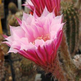 Echinopsis-Hybr. Troubadur Rheingold 207