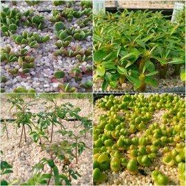 Mezcla sembrar otras plantas suculentas especiales