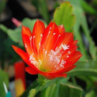 Epiphyllum-Hybr. Bianka Paetz