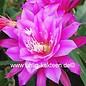 Epiphyllum-Hybr. Dolly Paetz