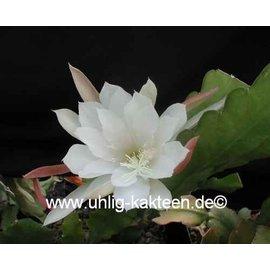 Epiphyllum-Hybr. Elfenbein