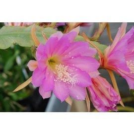 Epiphyllum-Hybr. Irena Paetz