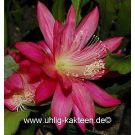 Epiphyllum-Hybr. Jinx Falkenberg
