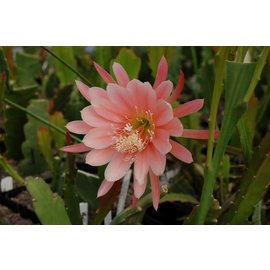 Epiphyllum-Hybr. `King Midas`