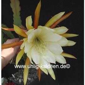 Epiphyllum-Hybr. King Ransom