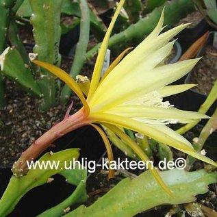 Epiphyllum-Hybr. Lotto