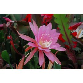 Epiphyllum-Hybr. `Lotus Queen`