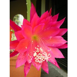 Epiphyllum-Hybr. Maja Büchi