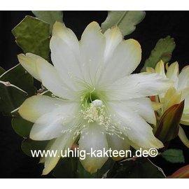 Epiphyllum-Hybr. `Meda`