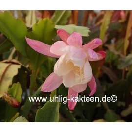 Epiphyllum-Hybr. `Novena`
