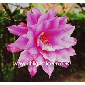Epiphyllum-Hybr. Olaf Paetz