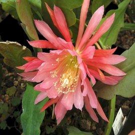 Epiphyllum-Hybr. Orange Tacambio
