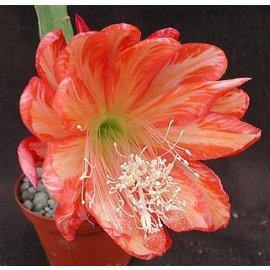 Epiphyllum-Hybr. `Spun Gold`