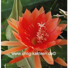 Epiphyllum-Hybr. `Sunland`