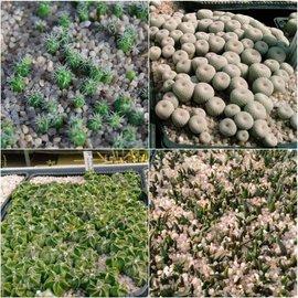 Semillas Mix Cacti Especial
