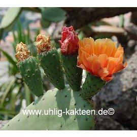 Opuntia ficus-indica XL