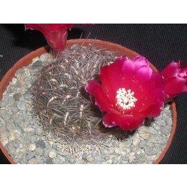 Sulcorebutia crispata  fo. `brunispina`