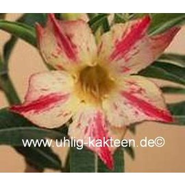Adenium obesum  Pikachu`   gepfr.