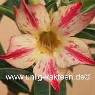 Adenium obesum cv. Pikachu   gepfr.