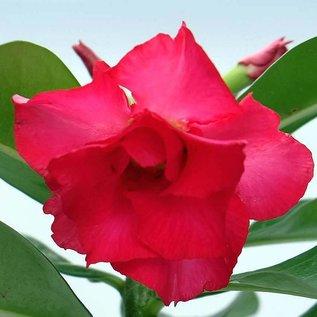 Adenium obesum cv. Pink Perfection   gepfr.