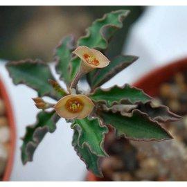 Euphorbia capsaintemariensis   Cap-Saintmarie   CITES