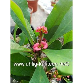 Euphorbia milii-Hybr.