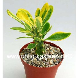 Euphorbia neriifolia  variegata