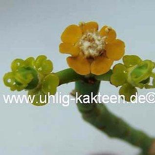 Euphorbia schimperi  fo. 2