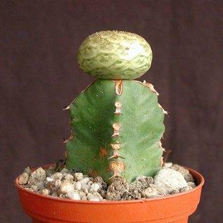 Euphorbia turbiniformis    gepfr.