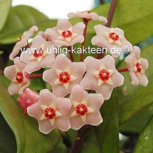 Hoya carnosa Priscilla