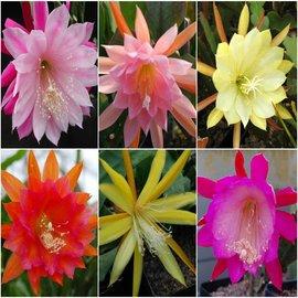 Oferta especial Epiphyllum hybrids